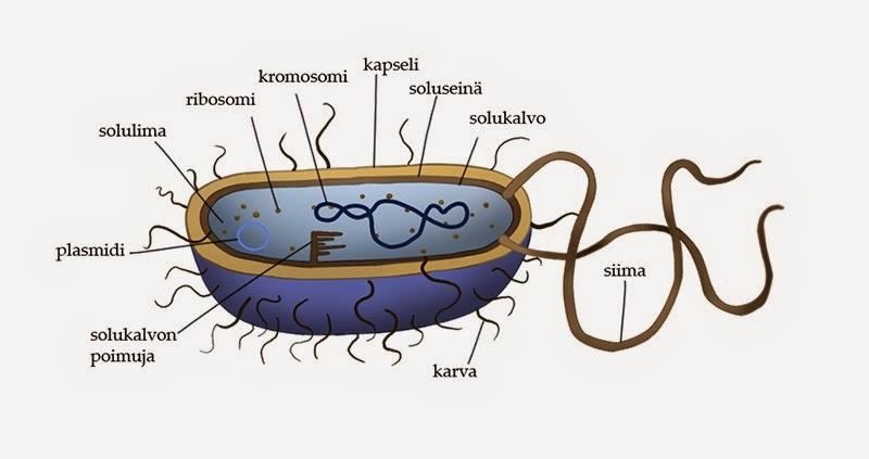 Mikrobin ja bakteerin ero