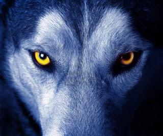 Pedido de Assinatura: 13551955-hermosos-ojos-de-un-lobo-salvaje