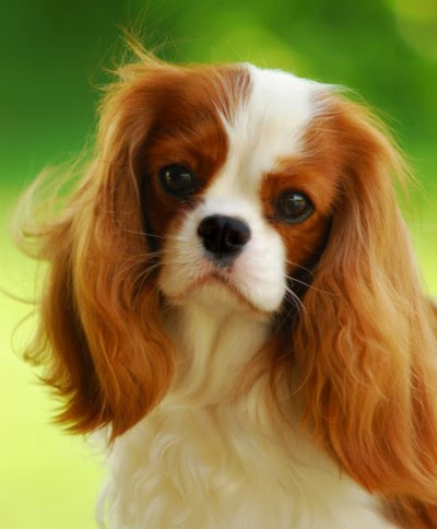 Cavalier King Charles Spaniel Size,Weight and Life Expectancy