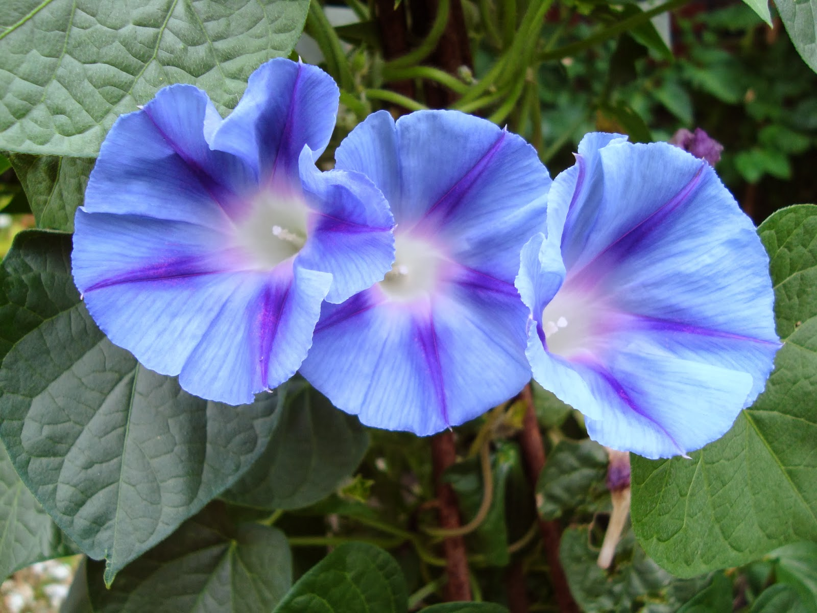 Seeds for sale online asarina telang morning glory for Ipomea purpurea