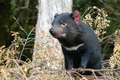 Ung thư mặt ở loài thú mặt quỷ Tasmanian