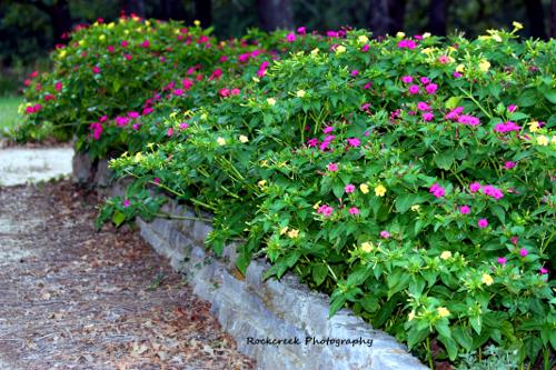 Sheilas flower garden get a way the four oclock flower a sweet four oclocks as a hedge mightylinksfo