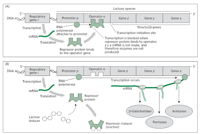 operator gene essay Control of gene expression in prokaryotes an operator region, the transcription unit which the gene product of lac i is a protein, known as the lac.