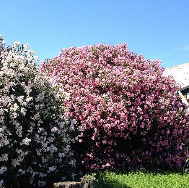 oleandro oleandri : Vita da fiori: Oleandro. Colori e veleno.