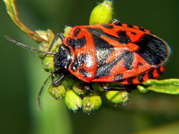 Orto prato e giardino cimice dei cavolfiori e dei cavoli for Cimice insetto