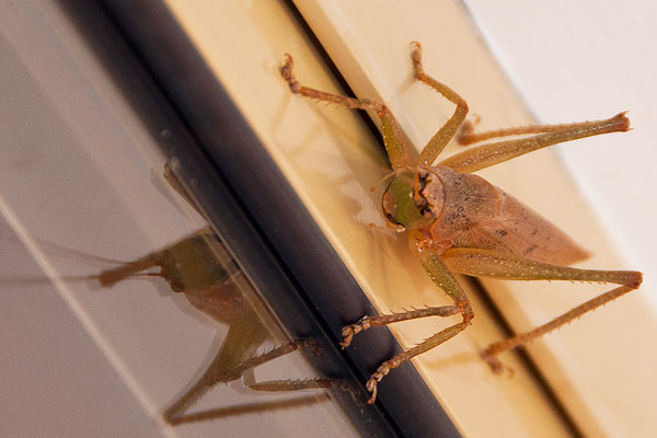 grasshopper face Sydney