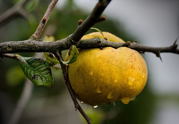 Quince fruit hanging from the branch. Photo by Colin (colinsd40) via Flickr.