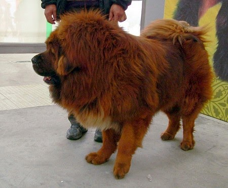 The golden-haired animal was 80 centimetres (31 inches) tall, and weighed 90 kilograms (nearly 200 pounds), Zhang said, adding that he was sad to sell the animals. Neither was named in the report.