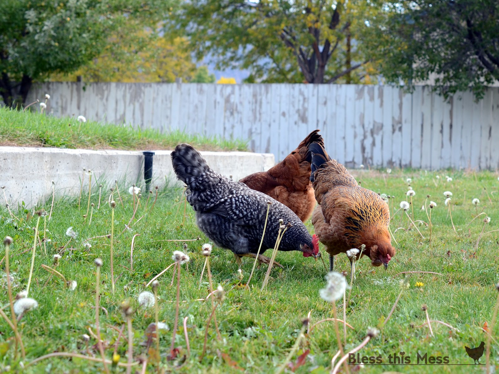 raising backyard chickens bless this mess