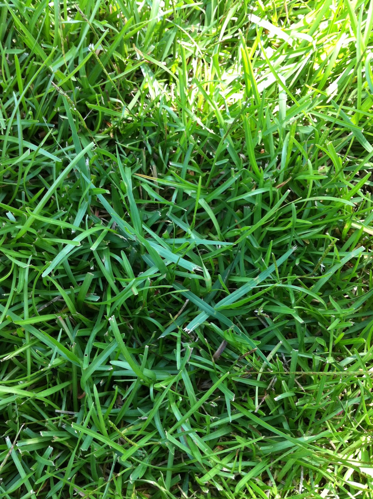 Centipede Grass Seed Www Imgkid Com The Image Kid Has It