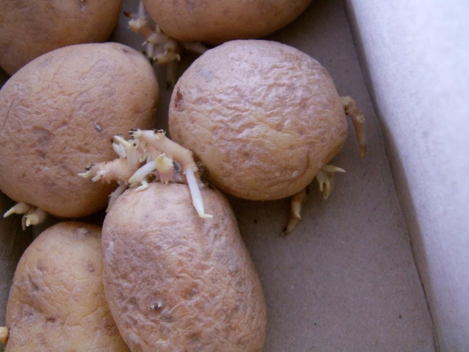 Patates Yetiştiriciliği , Patates Yetiştirme