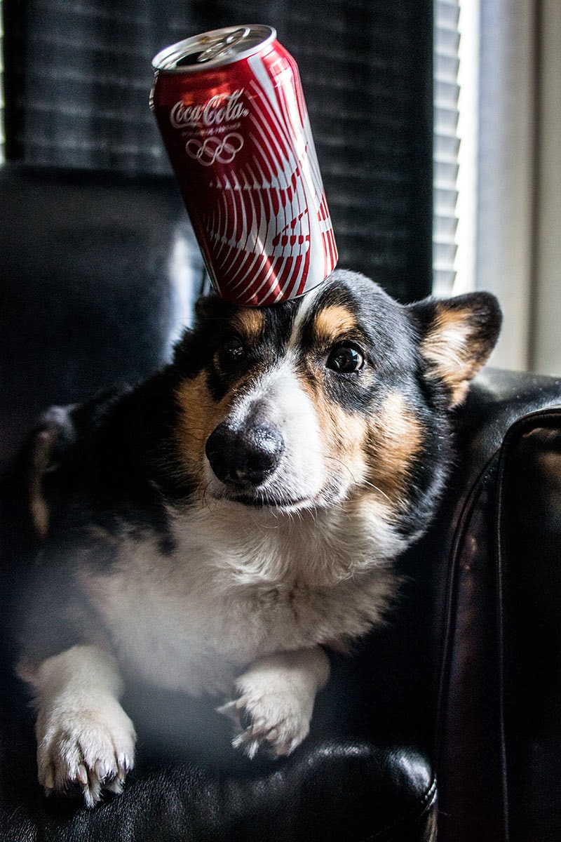 Kenshin the corgi holding a can of coke