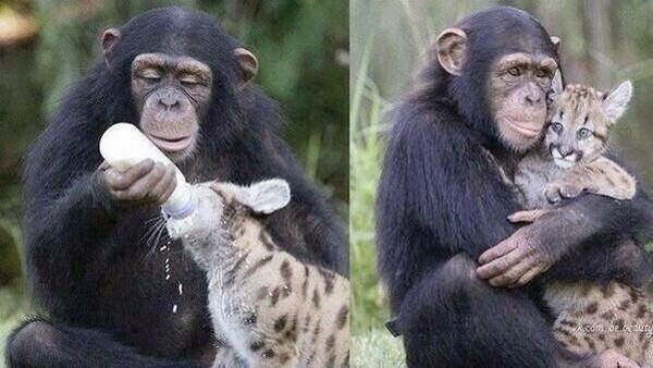 Funny animals of the week - 28 March 2014 (40 pics), chimpanzee bottle feed baby leopard