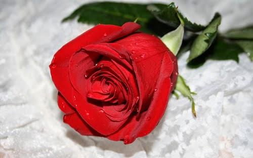 Kumpulan Gambar Bunga Mawar
