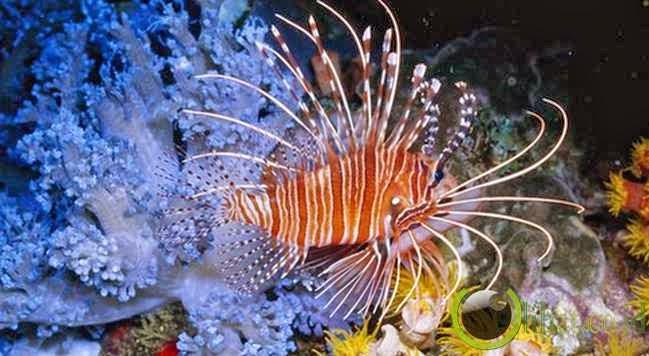 Ikan Singa (Lion Fish)