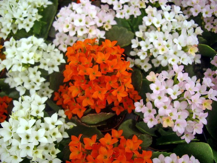 Viveros laynez kalanchoe blossfeldiana for Matas ornamentales