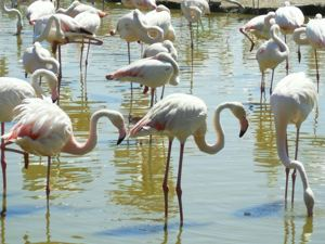 Disabled Travel - Wheelchair Access Parc Ornithologique, Camargue Flamingo