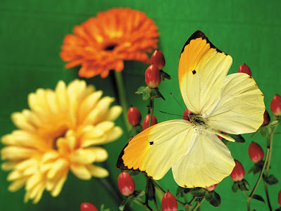 Beautiful Butterfly Normal Resolution Wallpaper 12