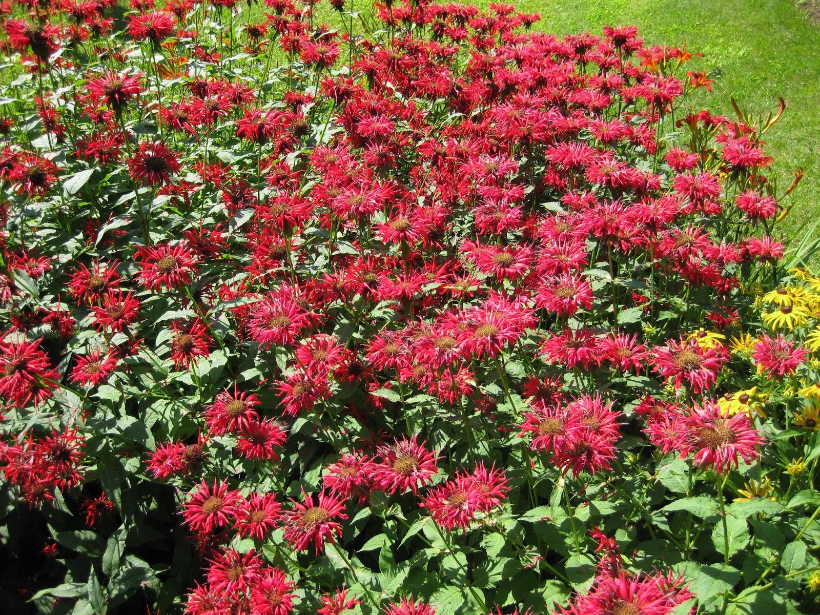 Bee Balm for Pollinators - Rotary Botanical Gardens