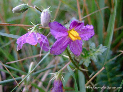 Solanum Xanthocarpum