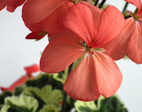 Pelargonium x hortorum ( zonale) Frank Headley flower