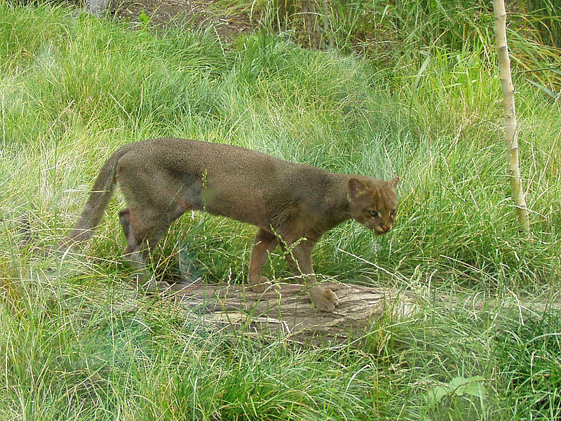 Tiny cougar