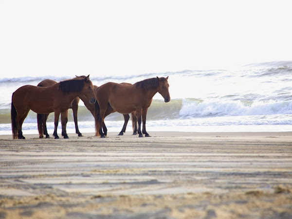 Corolla's Wild Horses