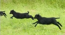 Lambs A Leaping