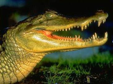 alligator unyu