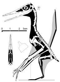 Ningchengopterus