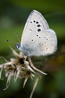 Para ampliar Glaucopsyche melanops (Escamas azules) macho, reverso hacer clic