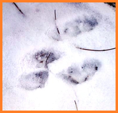 "squished up print - large hind feet first, smaller front paws behind and ""inside"" the larger two."