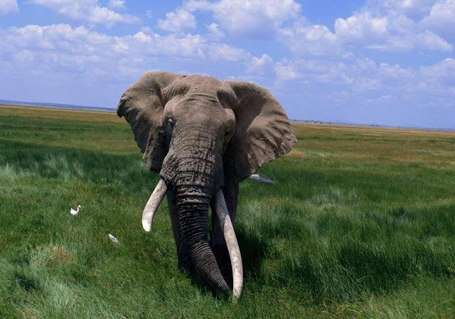 huge elephant, wallpapers, nature, desktop, HD, HQ, tapandaola111