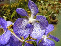 Vanda cultivar orchid
