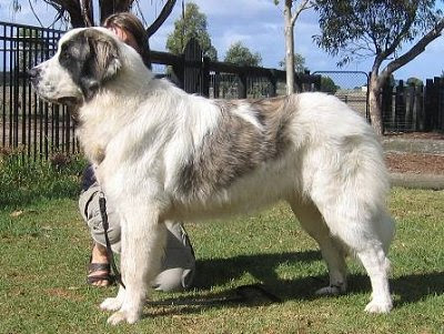 ~Echo~Female~Russian Sheep Dog~ PyreneanMastiffBretonGrandeYGratoAustraliaannes06005