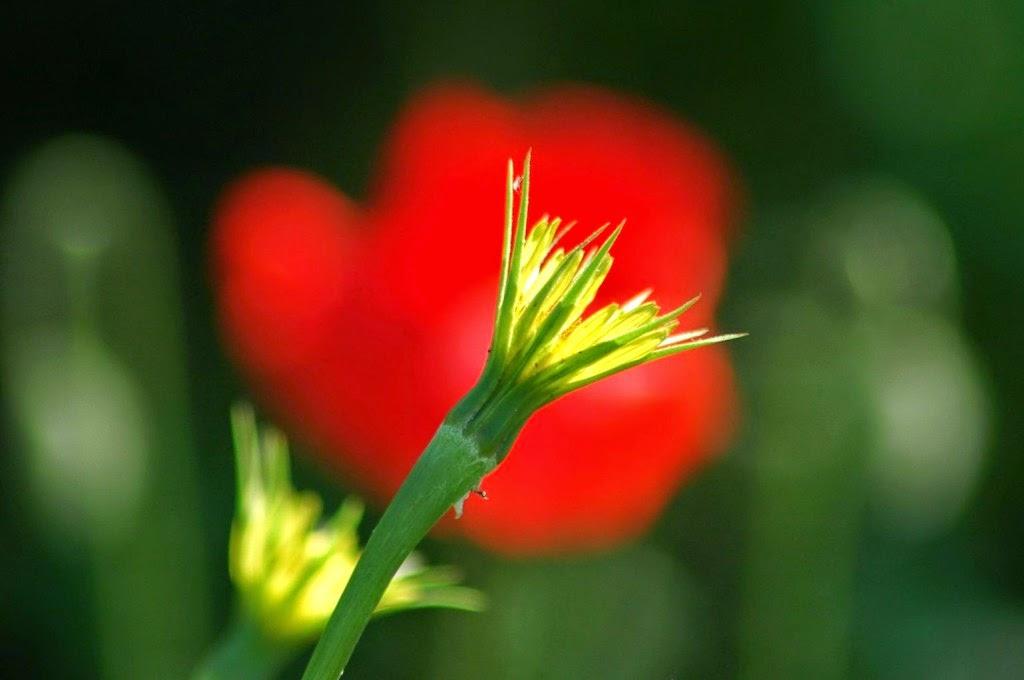 természet, virágok, vadvirágok, tavasz, réti bakszakáll