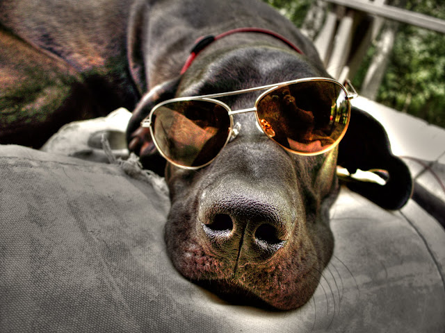 Funny Picture Of the Day 06-05-2012 | Beautiful Black dog wearning Black glasses taking rest in car | funny animal | animal wallpaper | dog wallpaper | Totally Cool Pix | Big Picture | Wallpaper | HD Desktop