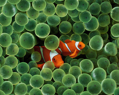 Clown Fish desktop wallpaper