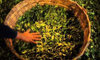 How Green Tea is Made
