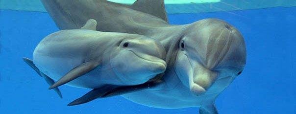 Lumba-lumba hidungbotol ( bottlenosedolphins )