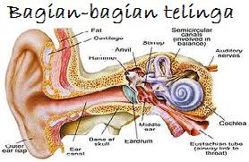 Bagian-bagian telinga - indra pendengaran