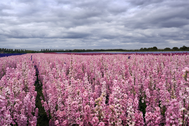 A field of bright pink English Delphiniums under clouds www.martynferryphotography.com