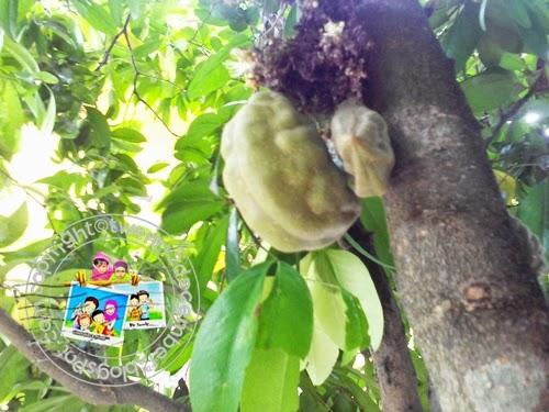 buah nam nam