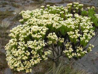 Indahnya Bunga Abadi Edelweis