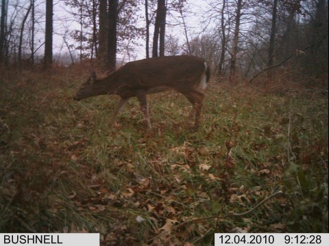 Trail Cam Pics Of Deer http://trophy-hunting.blogspot.com/2011/02/illinois-2010-muzzleload-report-5-misc.html
