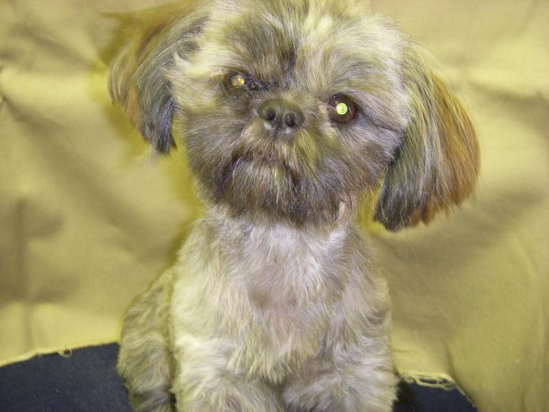 Cute Puppy Dogs: brown shih tzu puppies