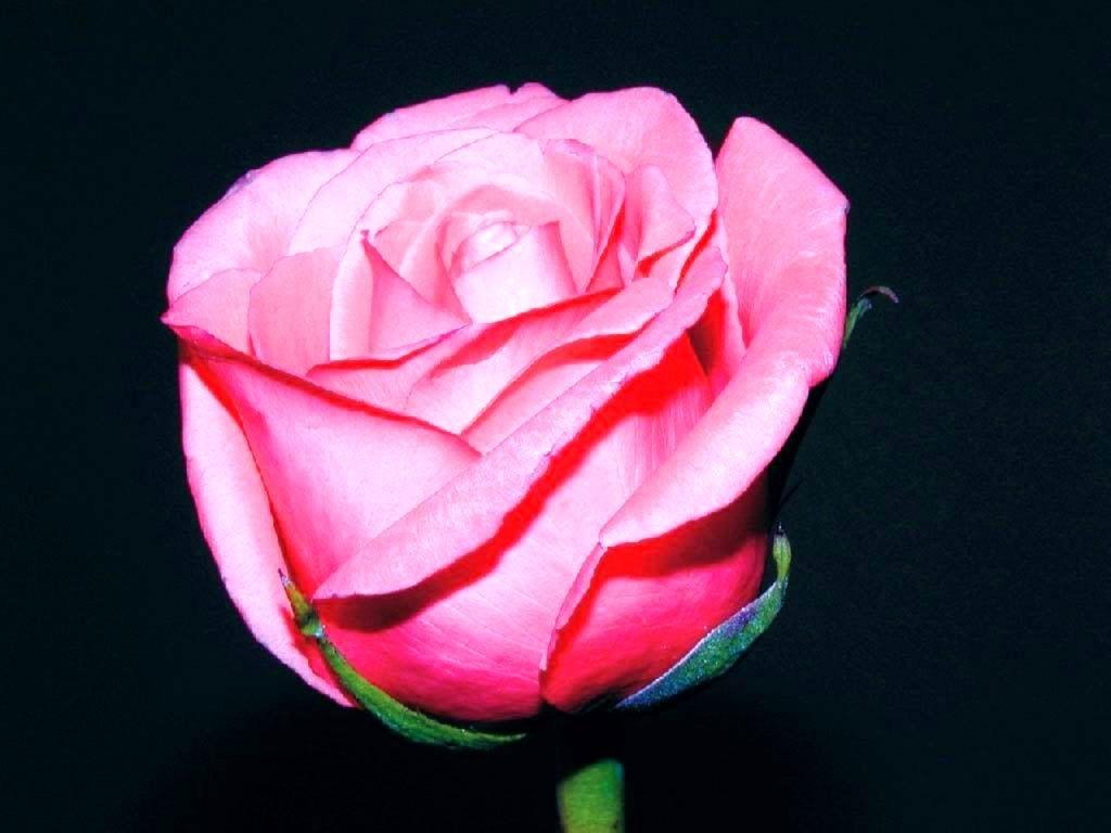 http://2.bp.blogspot.com/-Im5TNabPTaU/TvhgaC3WYEI/AAAAAAAAA7Q/5vKEhTjVwIo/s1600/pink-rose.jpg