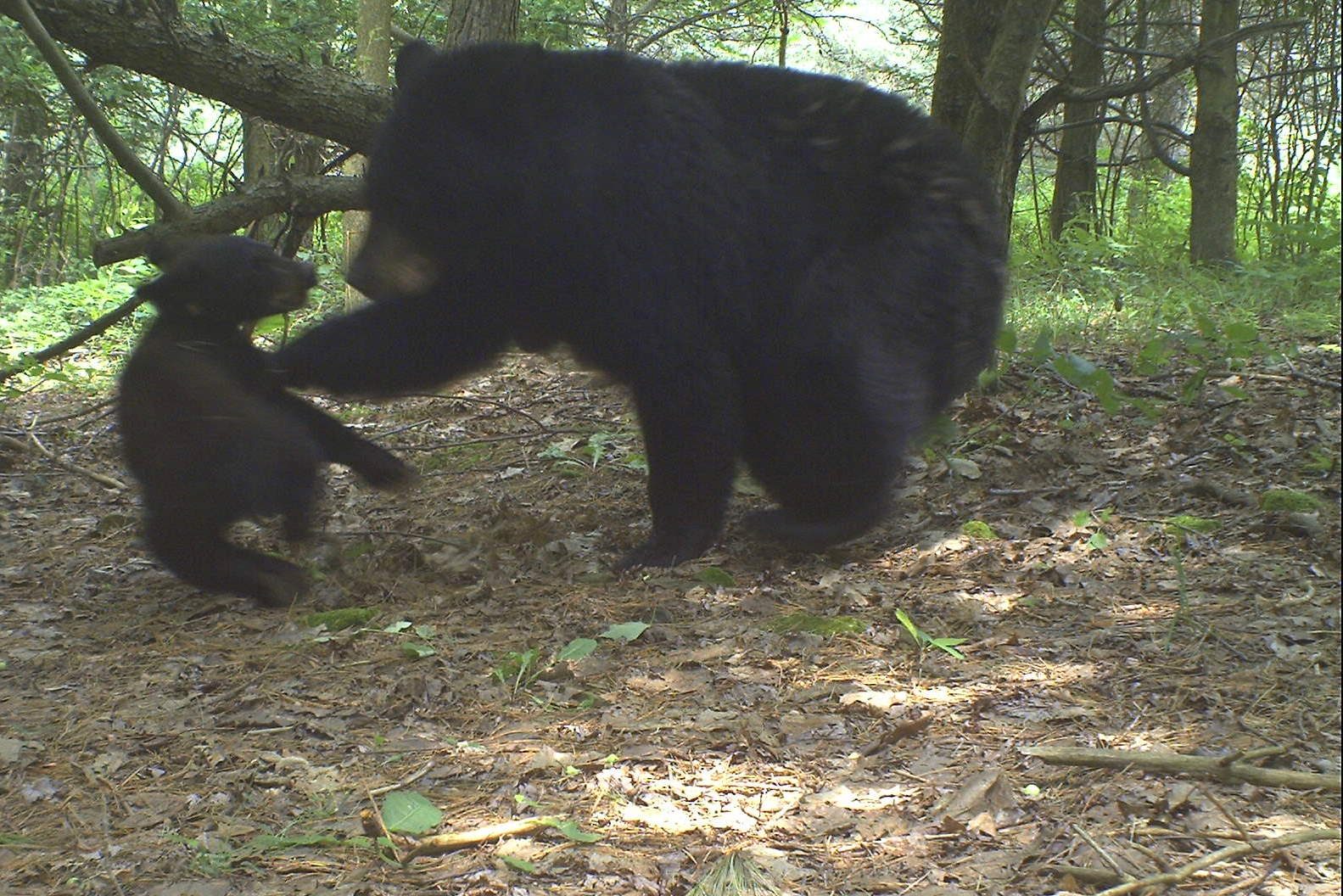 backyard beasts black bear swats cub