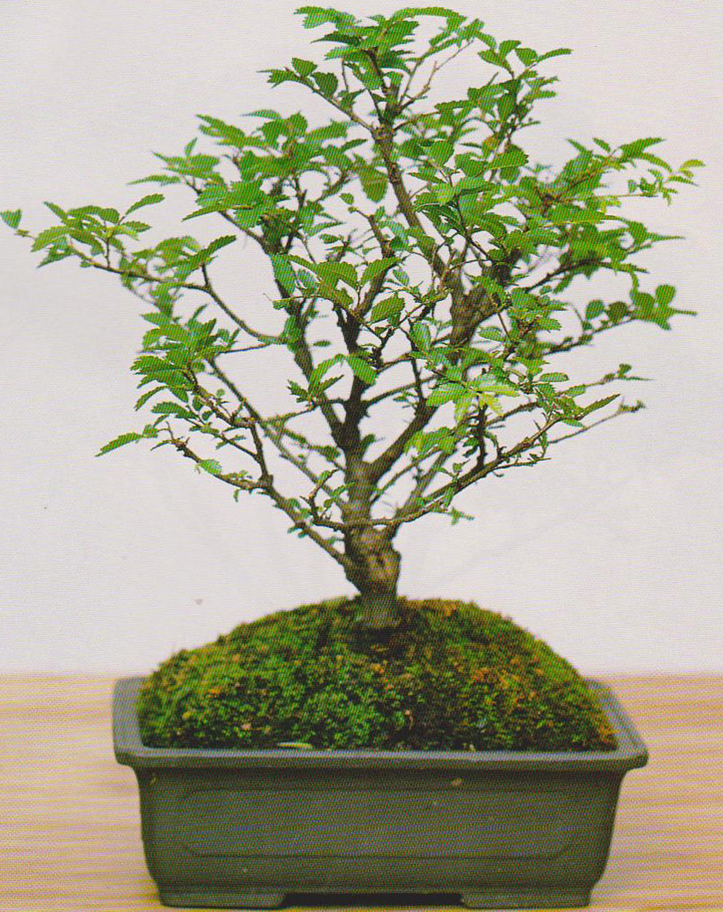 Bonsai Gallery BonsaiKey