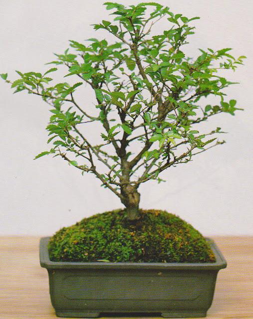 ulmus parvifolia neri